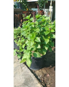 Basil Herb 30 CM Height