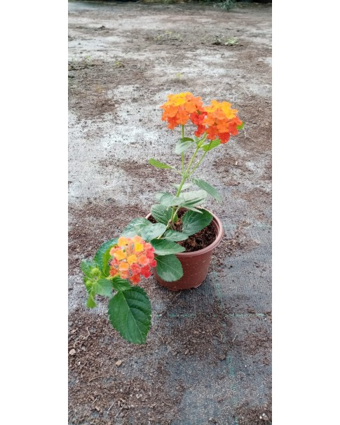 Lantana Crimson 12 CM Pot - Small