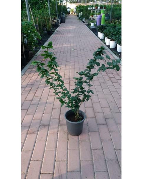 Jasminium mogra(Syrian jasmine)
