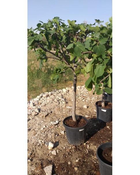 Ficus Carica ( Fig Tree)