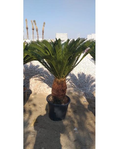 Cycas 45 cm Trunk