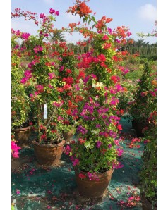 Bougainvillea Mixed Colors 160 cm Height