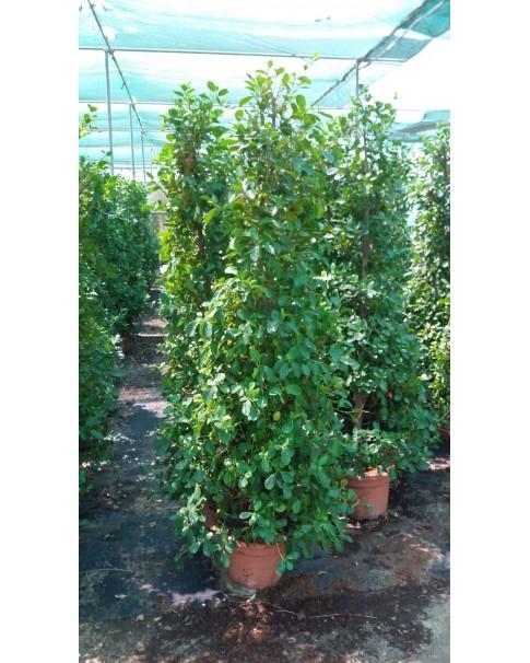 Ficus Tree - 2 M Height