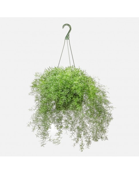 Asparagus Plant Hanging [ outdoor ]