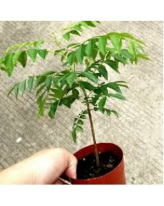Curry Leaf Plant - 40 - 50 Cm Ht