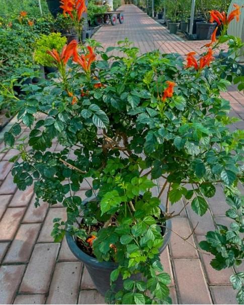 Tecomaria orange