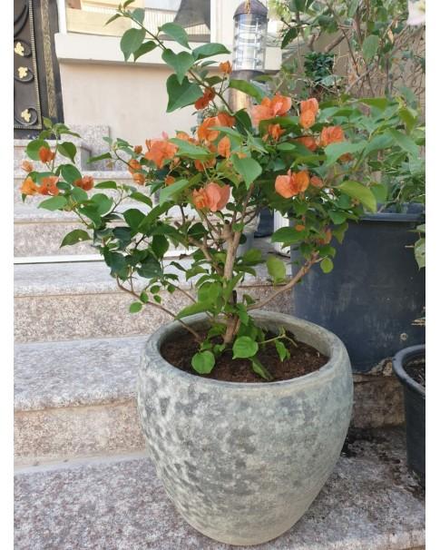 Bougainvillea Orange in Rustic Pot.
