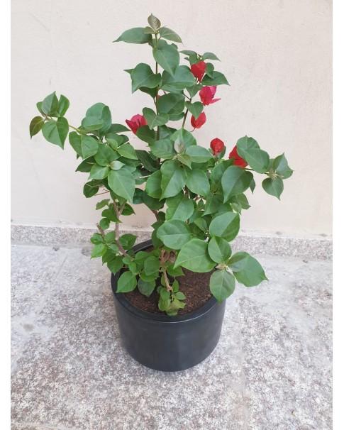 bougainvillea Red in Ceramic Pot
