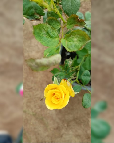 Rose Plant Assorted colors