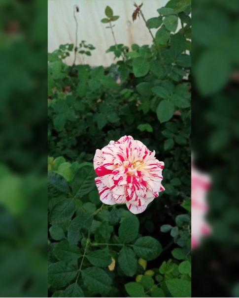 double colour rose