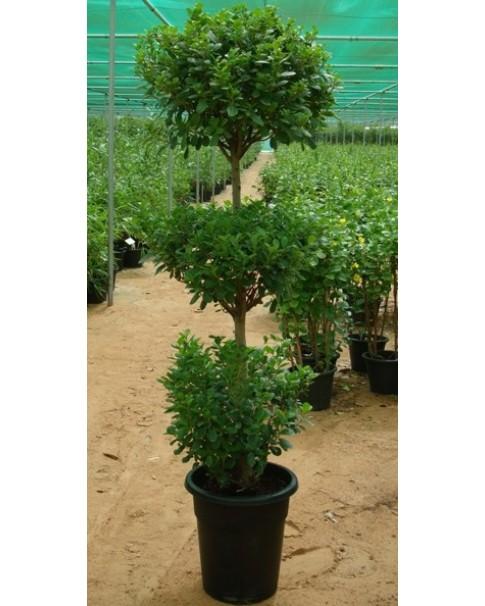 Ficus 3 Head Tree - 2 M Height