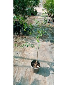 Citrus lemon bin zaheer 1.5 to 1.8 m ht