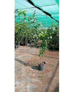 Citrus lemon Eureka - 2 m ht