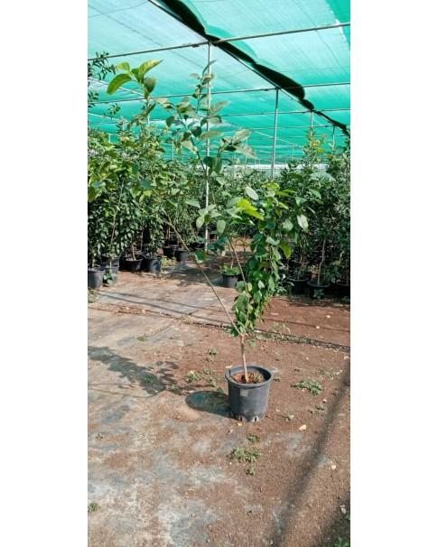 Citrus lemon Eureka - 2 m ht
