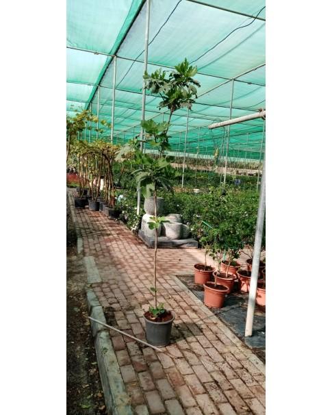 Ficus Carica 1.5 - 1.8 m ht