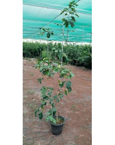 Pomelo ( Citrus Grandis )  1.5 m ht