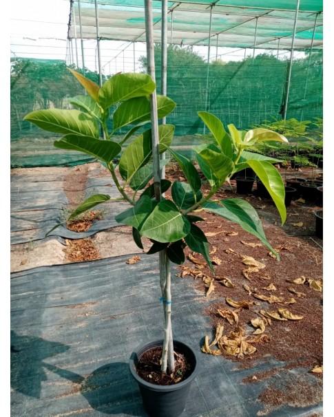 Ficus Bengalensis. ( Banyan Tree)