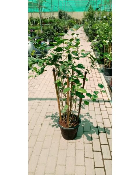 Jasminium sambac