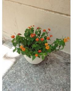 Lantana in Terracotta Pot. 45 cm total height