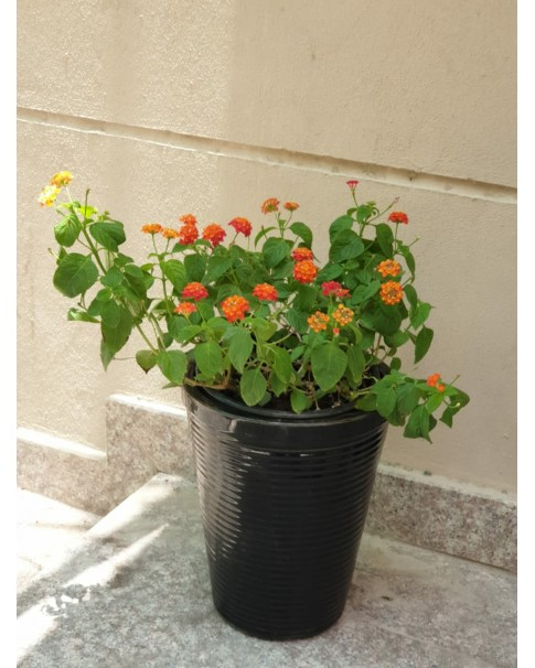 Lantana potted. 50 cm total height( assorted pots , different colours).