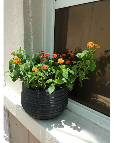 Lantana in Terracotta Round Pot. 35 cm total height