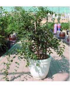 Jasmine Nitida in Ceramic Pot - 80 - 100 CM Total Ht