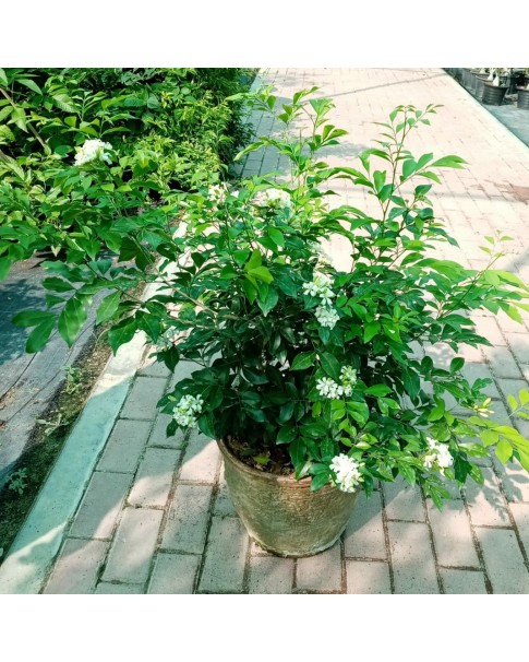 Murraya 60-70 cm Height And Bushy