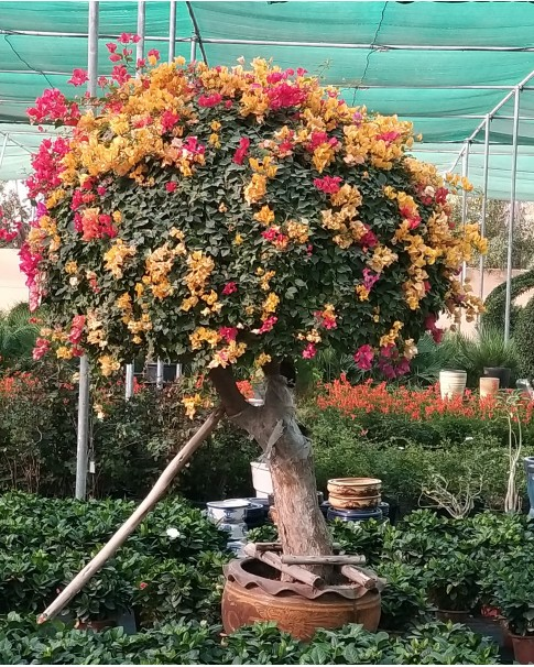 Bougainvillea Large Umbrella