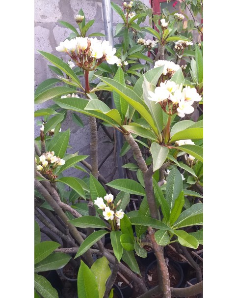 Plumeria White (Frangipani) 1Mtr Ht