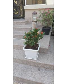 Ixora Pink in Square Planter 50 CM Ht