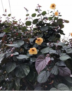 Hibiscus Tiliaceus Rubra