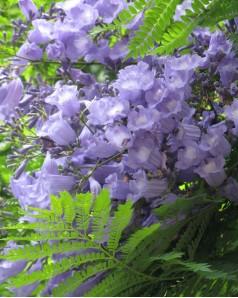 Jacaranda Mimsifolia