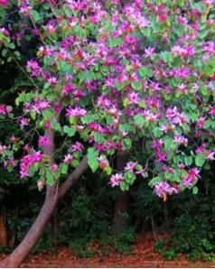 Bauhinia Purpurea (Purple Orchid Tree)