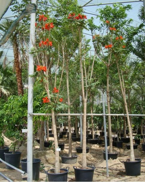 Spathodea Campanulata (African Tulip)