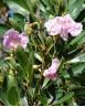 Tabebuia Rosea