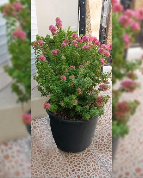 Bougainvillea pink pixy