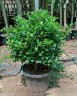 Ficus panda 1 head