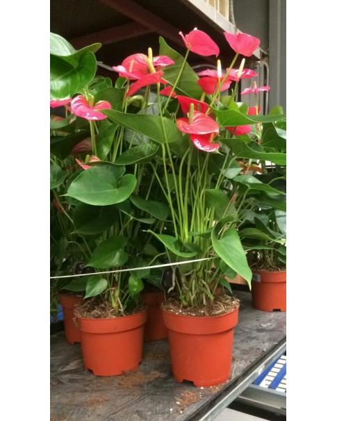 Anthurium pink 50 to 55cm Ht