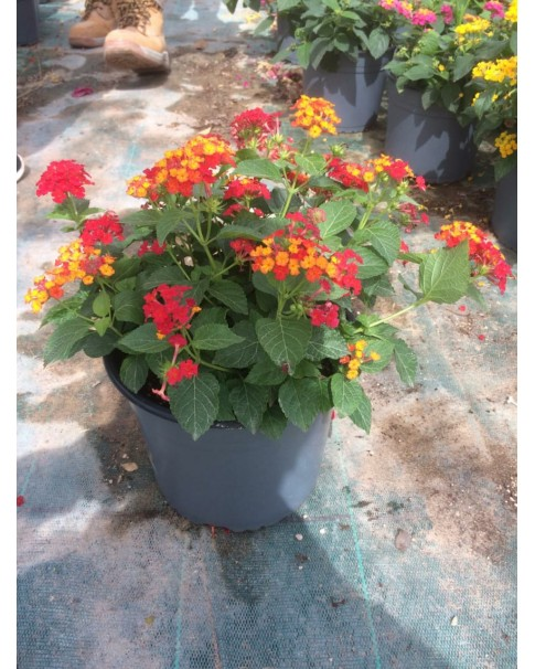 Lantana Mixed Orange & Red