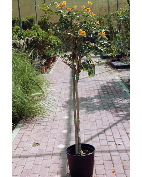 Bingonia Radicans -100 to 120 CM Height