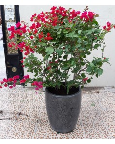Bougainvillea in Ceramic Pot