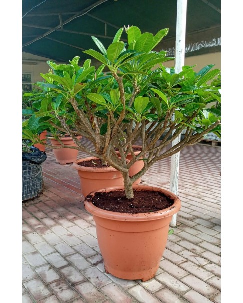 Plumeria - Pink  ( Frangipani ) . 1 Mtr Total Height