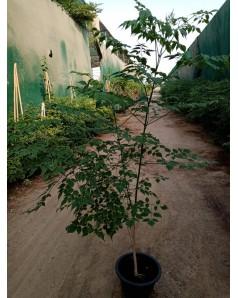 Millingtonia Hortensis (Tree Jasmine) - 100 Cm Ht