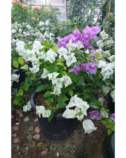 Bougainvillea 40 - 50 CM Height