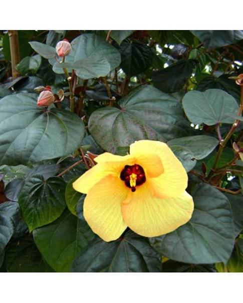 Hibiscus tilicious rubra