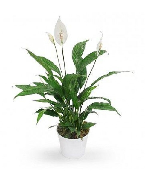Peace Lily Potted 40 to 50 CM HT