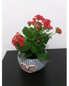 Kalanchoe blossfeldiana in Gift Pot - 30 CM Height
