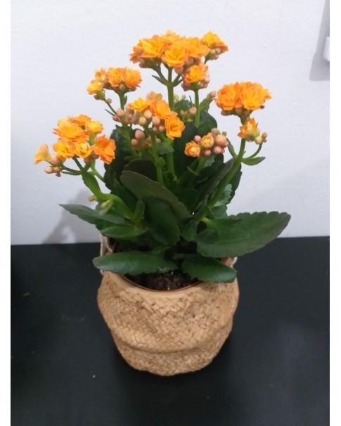 Kalanchoe blossfeldiana in Gift Pot - 30 CM Height