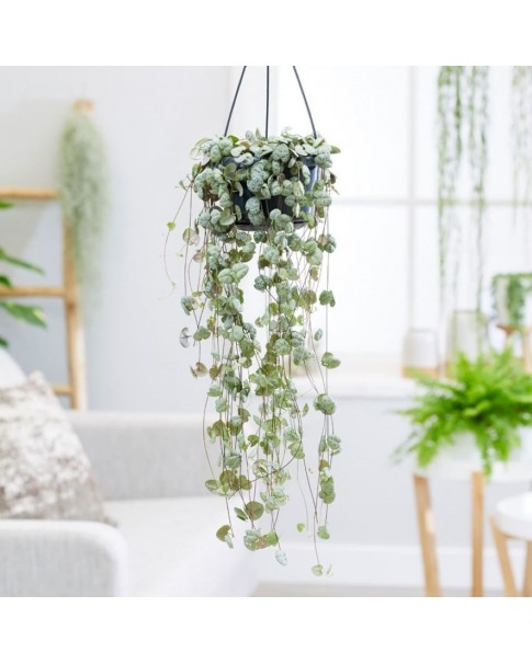 string of hearts plant
