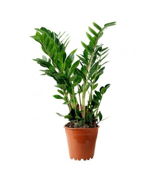 Zamio culcus Zamiifolia (Zee-Zee Plant) - 70 cm